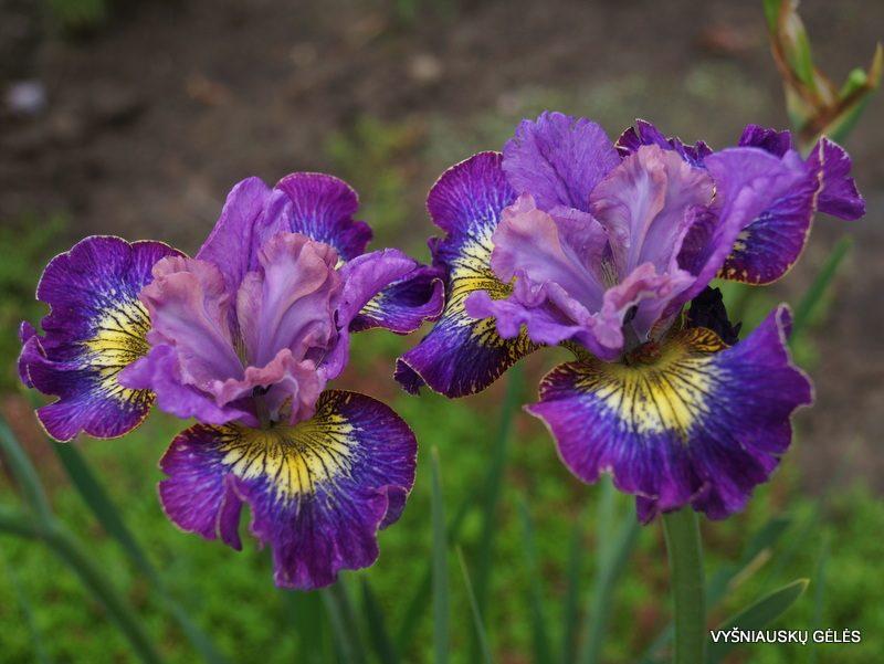 Iris sibirica 'How Audacious' (2)