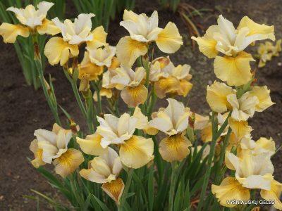 Iris sibirica 'Humors of Whiskey' (2)