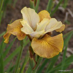 Iris sibirica 'Humors of Whiskey'