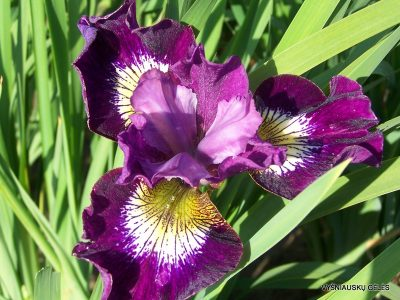 Iris sibirica 'Jeweled Crown' (2)