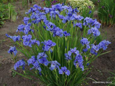 Iris sibirica 'Jiggles' (2)