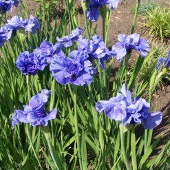Iris sibirica 'Jiggles' (4)