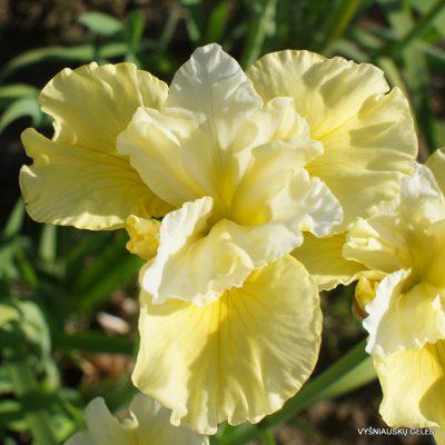 Iris sibirica 'Just Cruising' (3)