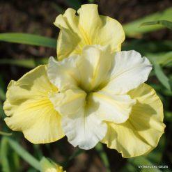 Iris sibirica 'Just Cruising'