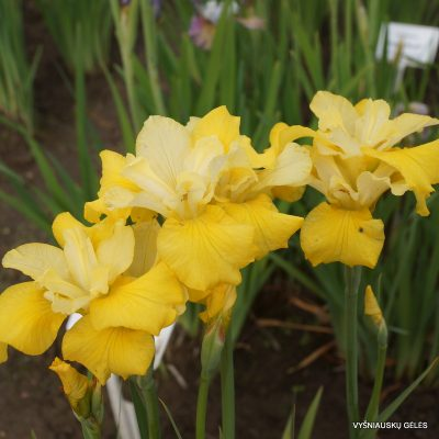 Iris sibirica 'Lucy Locket'