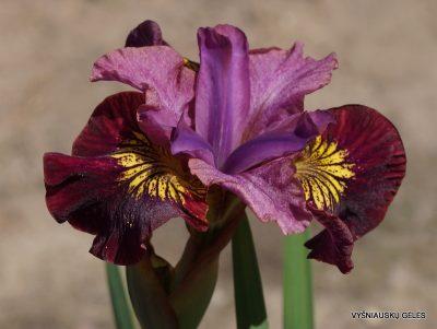 Iris sibirica 'Miss Apple' (2)