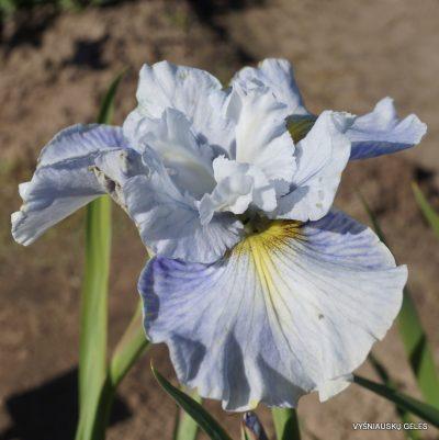 Iris sibirica 'Mission Bay' (2)