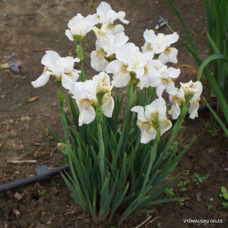 Iris sibirica 'Not Quite White' (6)