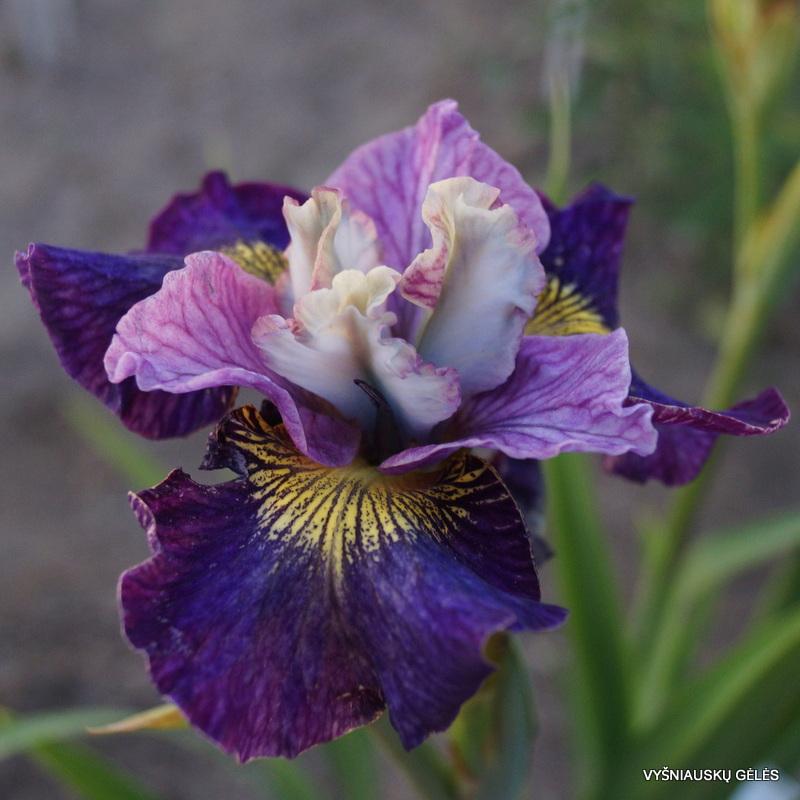 Iris sibirica 'On Mulberry Street'