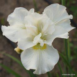 Iris sibirica 'Ordinary Angel' (3)