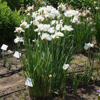 Iris sibirica 'Ordinary Angel' (4)