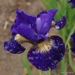 Iris sibirica 'Over in Gloryland' (4)