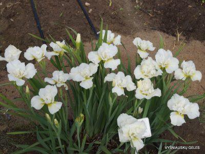Iris sibirica 'Rolling Cloud' (2)