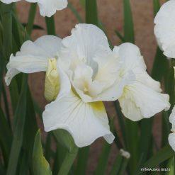 Iris sibirica 'Rolling Cloud' (3)
