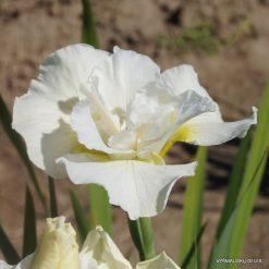 Iris sibirica 'Rolling Cloud' (4)