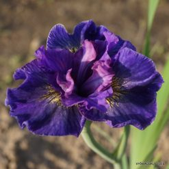 Iris sibirica 'Saucy Sailor'