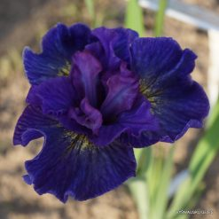 Iris sibirica 'Saucy Sailor' (4)