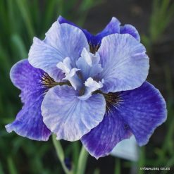 Iris sibirica 'Ships Are Sailing'