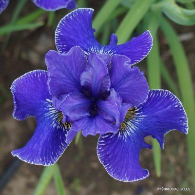 Iris sibirica 'Silberkante'