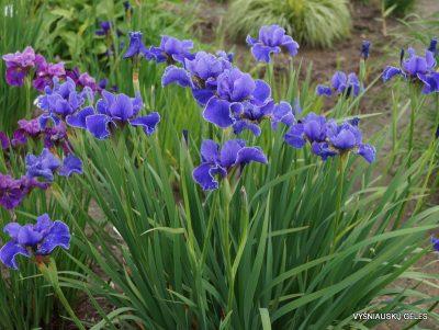 Iris sibirica 'Silberkante' (2)