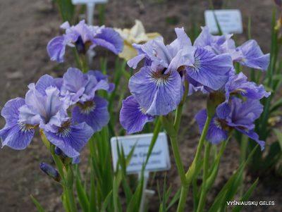 Iris sibirica 'Silver Girl' (2)