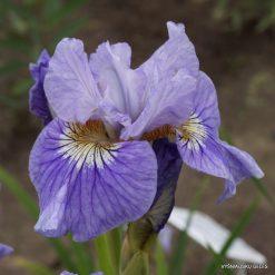 Iris sibirica 'Silver Girl'