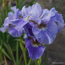 Iris sibirica 'Silver Girl' (4)