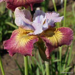 Iris sibirica 'Suger Rush'