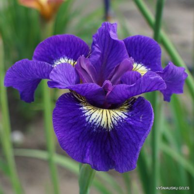 Iris sibirica 'Tall Dark and Handsome'