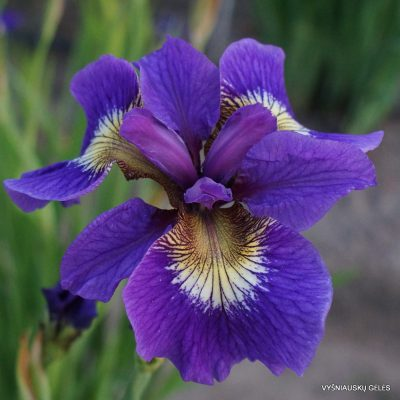 Iris sibirica 'Tall Dark and Handsome' (2)