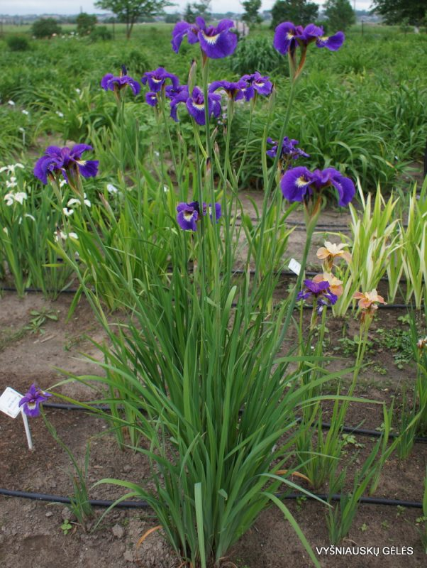 Iris sibirica 'Tall Dark and Handsome' (4)
