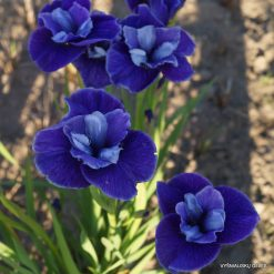 Iris sibirica 'Three Hand Stars' (3)