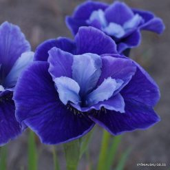 Iris sibirica 'Three Hand Stars' (4)