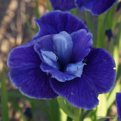 Iris sibirica 'Three Hand Stars'
