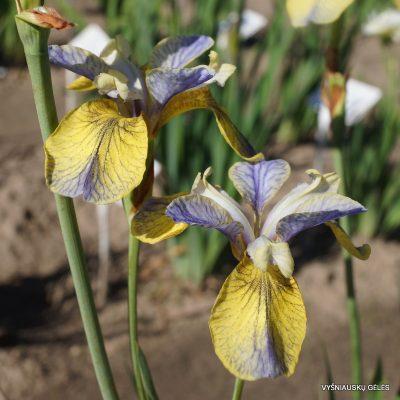 Iris sibirica 'Tipped In Blue' (2)