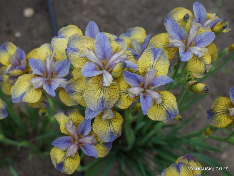 Iris sibirica 'Tipped In Blue' (3)