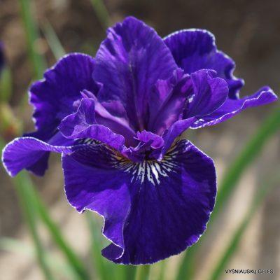 Iris sibirica 'Trim the Velvet'