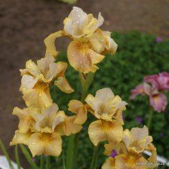 Iris sibirica 'White Amber' (3)