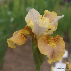 Iris sibirica 'White Amber' (4)