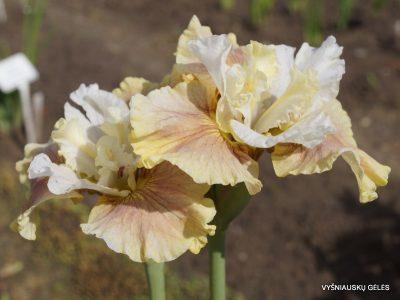 Iris sibirica 'Wynne Magnolia' (2)