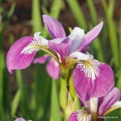 Iris versicolor 'Party Line'