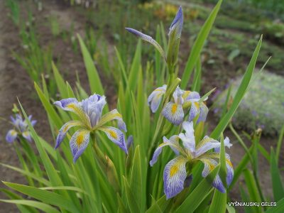 Iris virginica 'Dottie's Double' (2)
