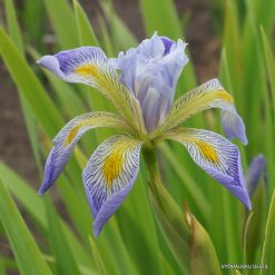 Iris virginica 'Dottie's Double' (3)