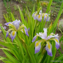 Iris virginica 'Dottie's Double' (4)