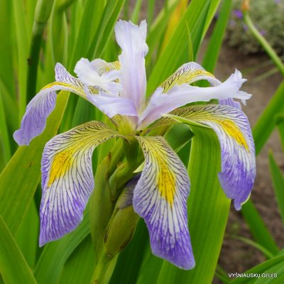 Iris virginica 'Dottie's Double'