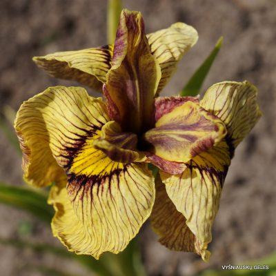 Iris x pseudata 'Samon' (2)