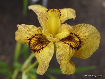 Iris x pseudata 'Sunadokei' (2)