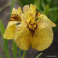 Iris x pseudata 'Sunadokei'
