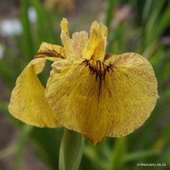 Iris x pseudata 'Sunadokei' (3)
