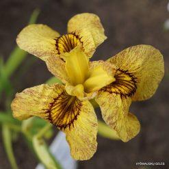 Iris x pseudata 'Sunadokei' (4)
